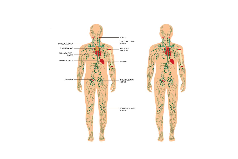 Lymfvatenstelsel vaatinfo Meycare